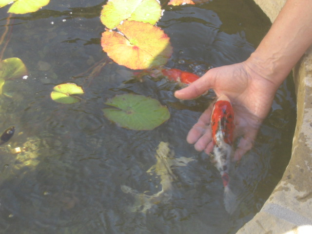 Ponds garcia rock and water design blog for How much are koi fish worth
