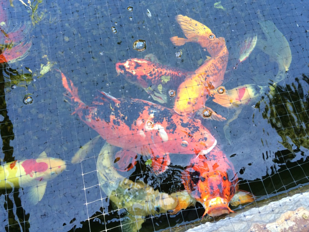 Bruce garcia garcia rock and water design blog for Koi fish water