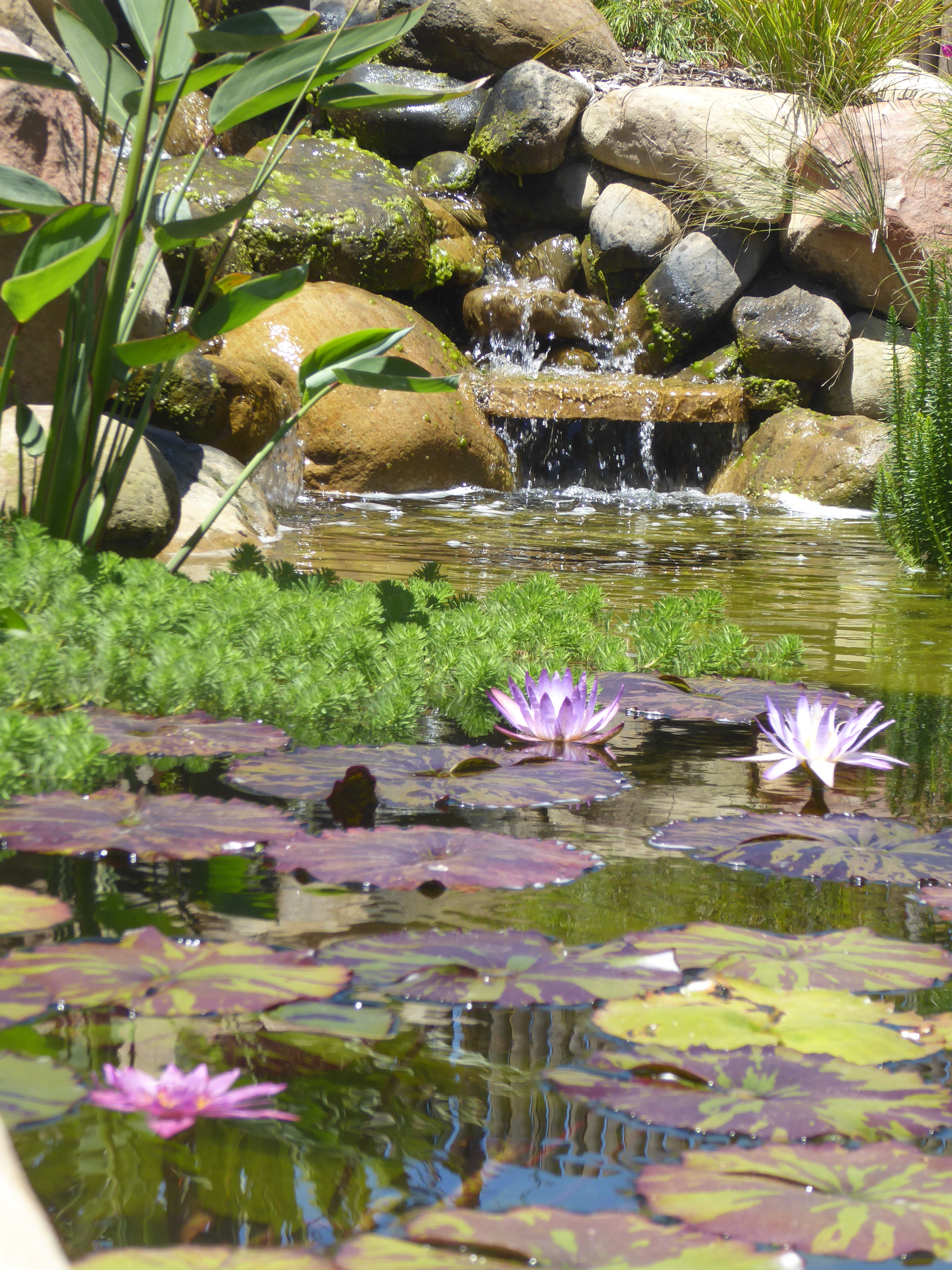 Garcia rock and water design blog for Koi pond plant ideas